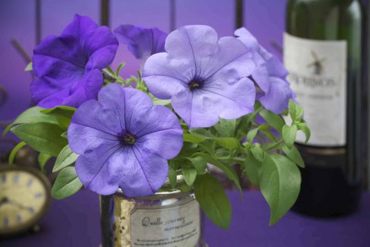 2017 Petunia Evening Scentsation - 2017 Flower Winner