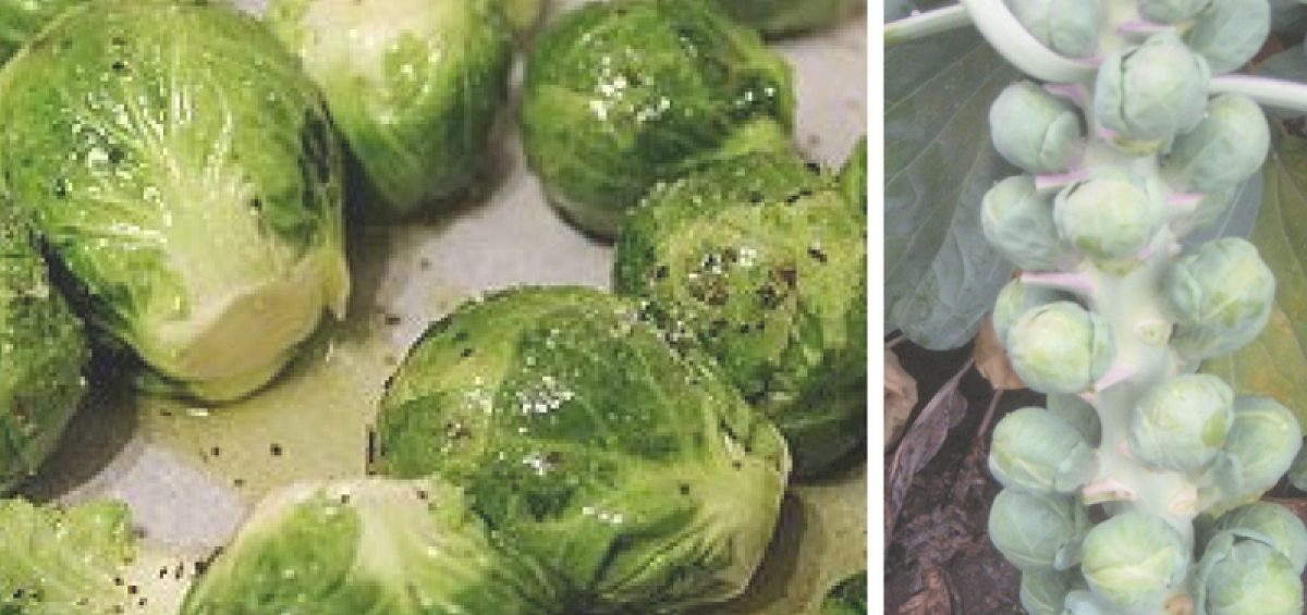 Heista Brussels Sprouts