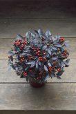 Ornamental Pepper Onyx Red - 2018 AAS Flower Winner