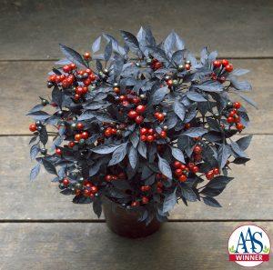 Ornamental Pepper Onyx Red