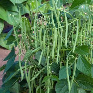 Bean Mascotte 2014 AAS Vegetable Award Winner The first AAS winning bean since 1991, this compact variety is perfect for today's small-space gardens.