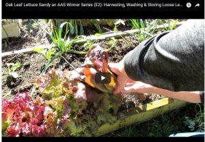 Harvesting Sandy Lettuce