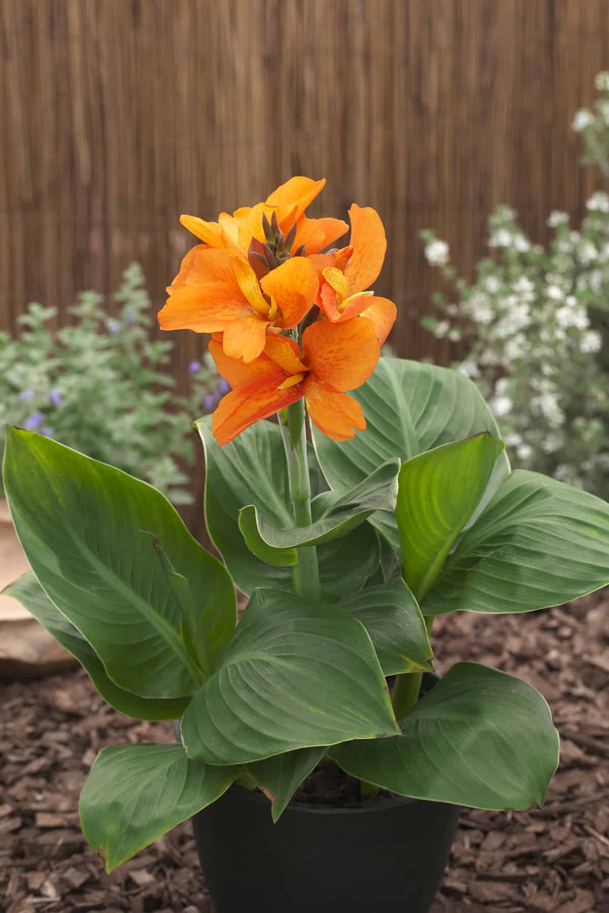 Canna South Pacific Orange F1 All America Selections