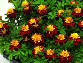 Marigold Super Hero Spry - 2018 AAS Flower Winner