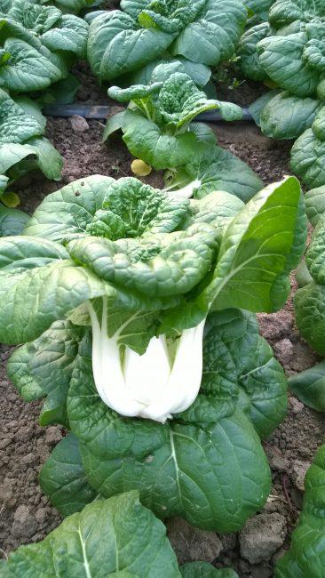 Pak Choi Asian Delight - 2018 AAS Edible - Vegetable Winner