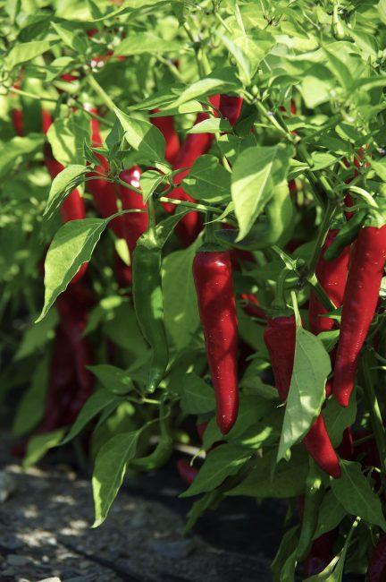 Pepper cayenne Red Ember - 2018 AAS Edible - Vegetable Winner
