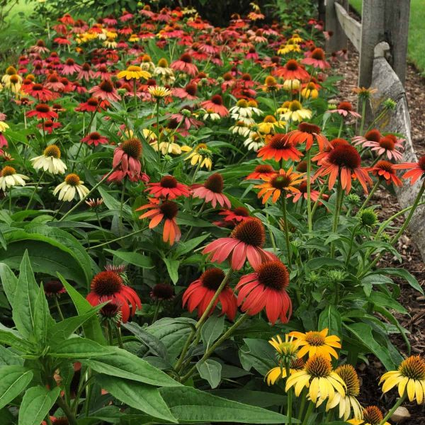 Echinacea Cheyenne Spirit - great for pollinators and fall color - All-America Selections Winner