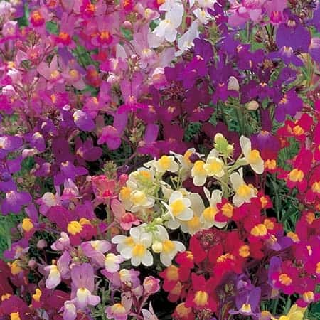 Linaria – Fairy Bouquet 1934 AAS Winner