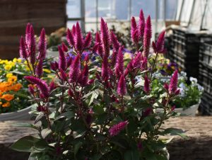Celosia Asian Garden AAS Flower Award Winner This spiked beauty claimed victory in North America's trial sites to become the first ever AAS Winner from Japanese breeding company Murakami Seed.