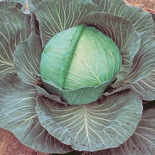 Cabbage O.S. Cross - AAS Winner