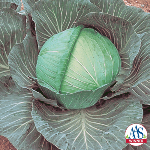 Cabbage O.S. Cross - AAS Edible - Vegetable Winner