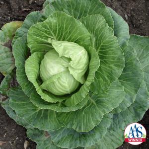 Cabbage Stonehedge - AAS Edible-Vegetable Winner