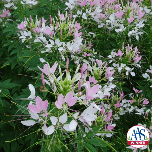 Cleome Pink Queen - AAS Winner