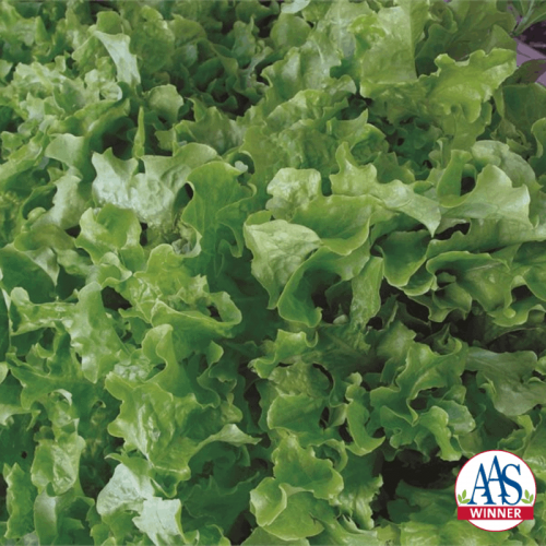 Lettuce Salad Bowl - AAS Edible Winner