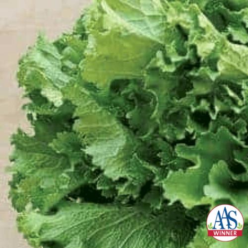 Mustard Green Wave - AAS Edible-Vegetable Winner