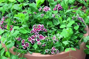 Pea Patio Pride AAS Winner - This compact beauty produces sweet, uniform pods that are very tender when harvested early. With only 40 days needed to maturity, Patio Pride can be one of your first spring harvests, or one of the last fall harvests from your Southeastern garden!
