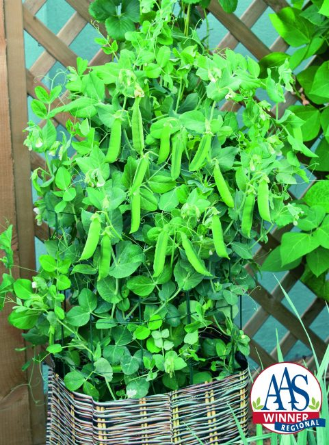 Pea Patio Pride AAS Winner - This compact beauty produces sweet, uniform pods that are very tender when harvested early.