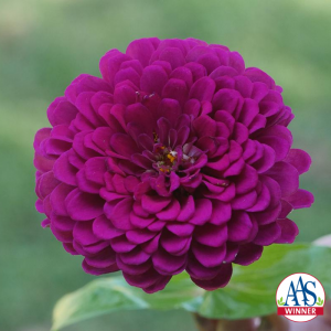 Zinnia Royal Purple - AAS WInner