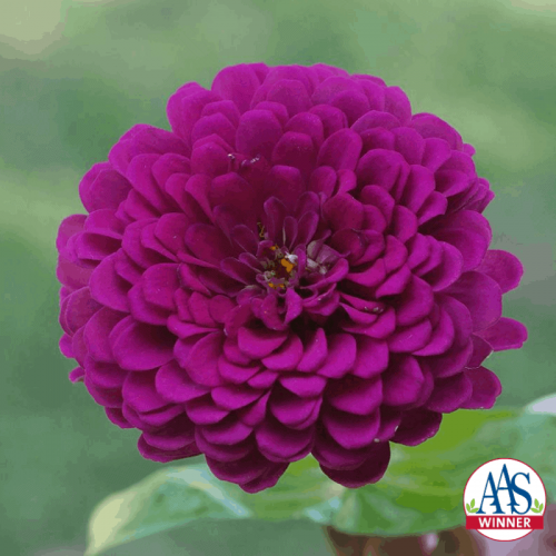 Zinnia Royal Purple - AAS WInner