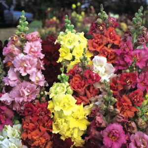Snapdragon Madame Butterfly - AAS Flower Winner