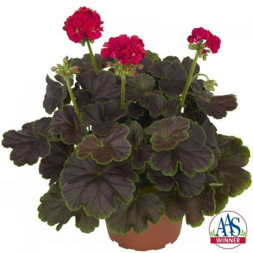 Striking foliage with large semi-double blooms of cherry pink make Geranium Brocade Cherry Night an AAS Winner this year.