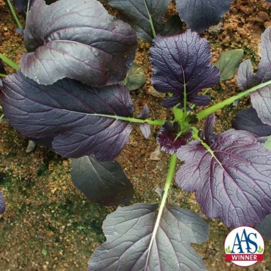 Mizuna Red Kingdom - All-America Selections has never had a mizuna (Japanese mustard) as a winner, much less a beautifully colored variety.