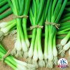 Onion Bunching Warrior grows quickly and thus matures early, producing a very uniform crop of slender, crisp onion stalks that are easy to harvest and clean.