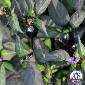 """Ornamental Pepper Black Hawk F1 2016 AAS Flower Award Winner If you are looking for a plant with adorable little ornamental peppers that start off black and change to a beautiful, head-turning red, you'll be over the moon for our newest AAS regional ornamental pepper winner, Black Hawk"""" F1."""
