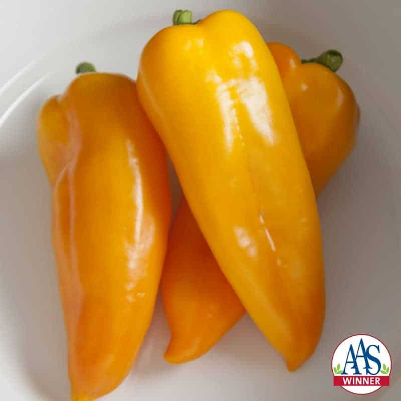 """Pepper Cornito Giallo F1 2016 AAS Vegetable Award Winner """"DOUBLE YUM"""" was one judge's response to our new AAS Winner Cornito Giallo F1 pepper, """"The flavor on this one is totally a winner!"""""""