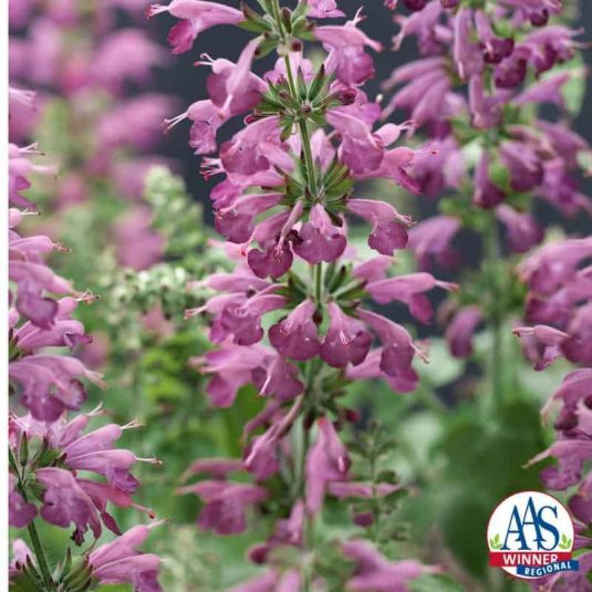 The unique flower color of dusty lavender purple is a delight in the garden and flower containers as well as a major attractor of pollinators including bees, butterflies, and hummingbirds.