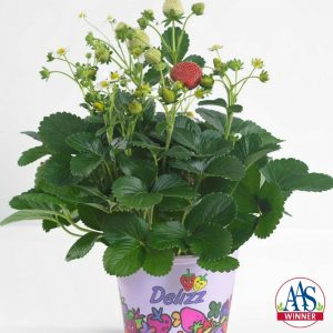 These vigorous strawberry plants are easy to grow, from seed or transplant, and produce an abundant harvest throughout the growing season.