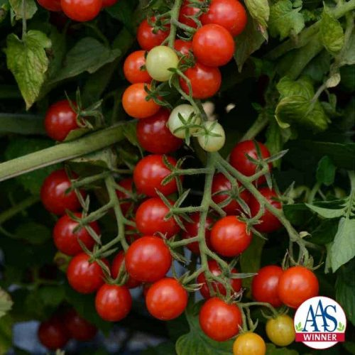 "Tomato Candyland Red is the only AAS award winning currant-type tomato. Currant tomatoes are smaller in size than cherry-type and are ready to ""pop"" in your mouth straight from the garden."