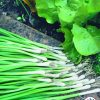 Onion, Bunching Warrior 2016 AAS Vegetable Award Winner Now home gardeners have an easy-to-grow bunching onion (also known as a green onion) that is an All-America Selections Winner.