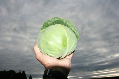 """Katarina Cabbage - This new winner has a perfect smaller head size (4"""") and shape to be grown successfully in containers on patios, decks or in-ground beds, possibly as an ornamental/edible border."""