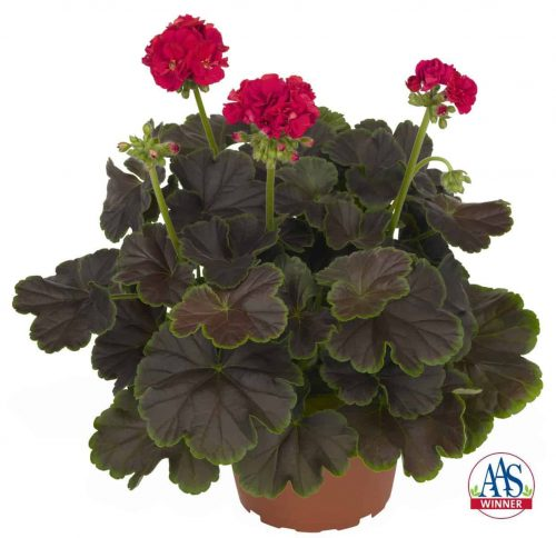 Geranium Brocade Cherry Night Striking foliage with large semi-double blooms of cherry pink make Geranium Brocade Cherry Night an AAS Winner this year.