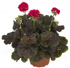 Brocade Cherry Night Geranium - Striking foliage with large semi-double blooms of cherry pink make Geranium Brocade Cherry Night an AAS Winner this year.