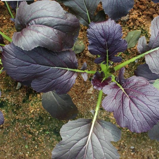 Mizuna Red Kingdom - 2016 AAS Winner - All-America Selections has never had a mizuna (Japanese mustard) as a winner, much less a beautifully colored variety.
