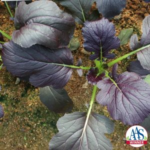 Mizuna Red Kingdom AAS Edible - Vegetable Winner