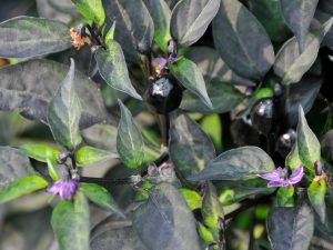 "Ornamental Pepper Black Hawk F1 2016 AAS Flower Award Winner If you are looking for a plant with adorable little ornamental peppers that start off black and change to a beautiful, head-turning red, you'll be over the moon for our newest AAS regional ornamental pepper winner, Black Hawk"" F1."