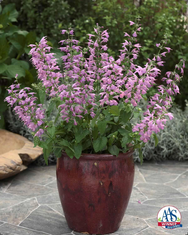 Salvia Summer Jewel™ Lavender
