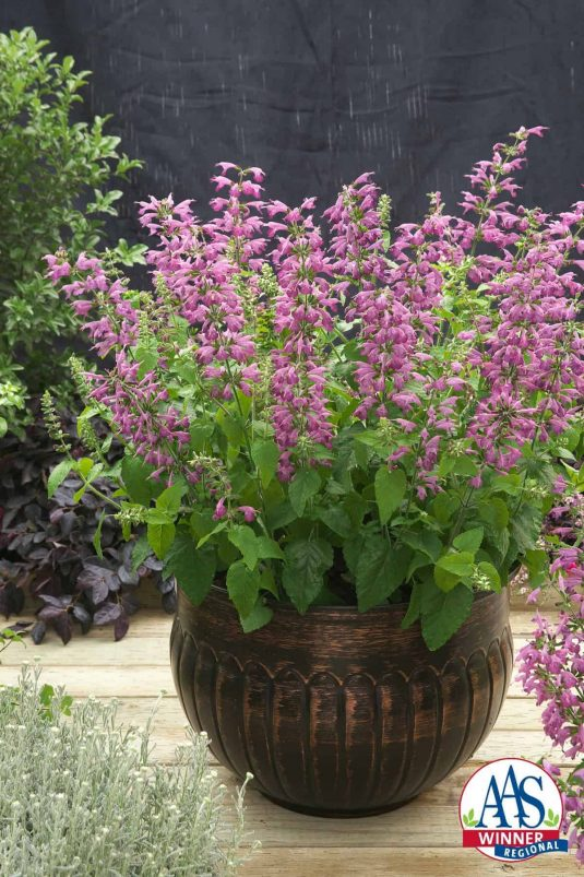 Salvia Summer Jewel™ Lavender 2016 AAS Flower Award Winner The fourth AAS Winner in the Summer Jewel™ series of popular AAS Salvia Winners is the newest in color, Summer Jewel™ Lavender.