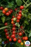 "Tomato Candyland Red AAS Edible - Vegetable Winner Tomato Currant tomatoes are smaller in size than cherry-type and are ready to ""pop"" in your mouth straight from the garden."