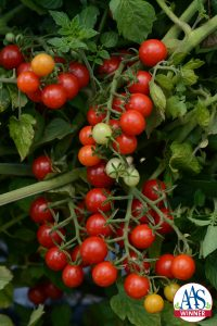 """Tomato Candyland Red AAS Edible - Vegetable Winner Tomato Currant tomatoes are smaller in size than cherry-type and are ready to """"pop"""" in your mouth straight from the garden."""
