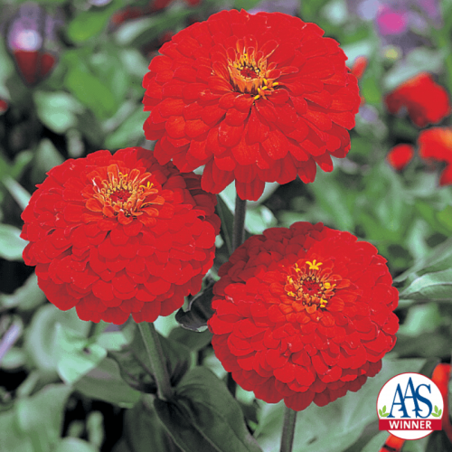 Zinnia Red Sun - AAS Flower Winner