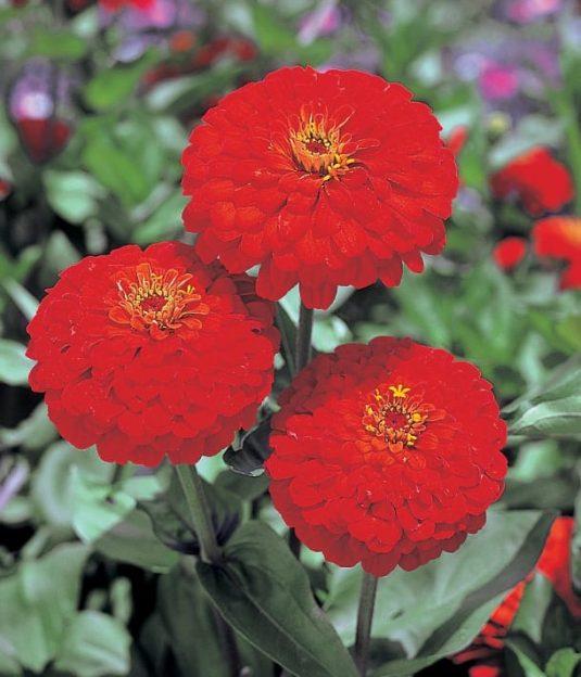 Zinnia Red Sun - AAS Flower Winner