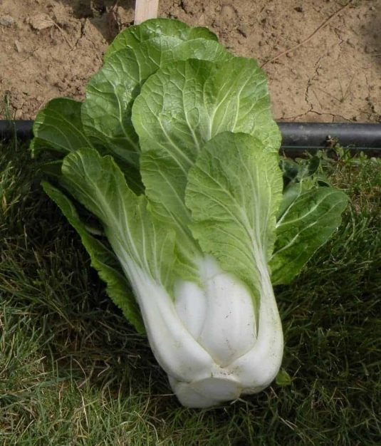 Pakchoi Bopak AAS Winnermatures early and the tender leaves with crisp sweet stalks taste great.