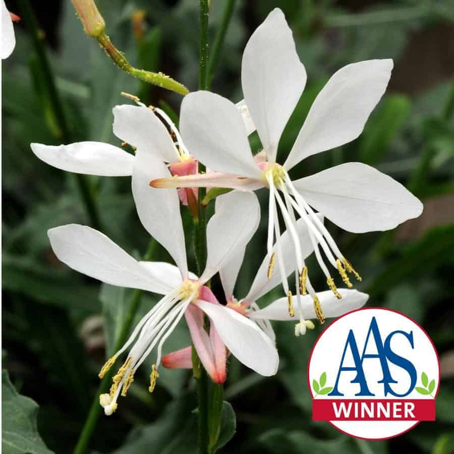 Gaura Sparkle White All America Selections