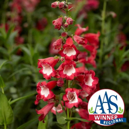 Penstemon Arabesque™ Red F1 2014 AAS Flower Award Winner Everything about Penstemon Arabesque™ Red F1 makes it essential for your garden!