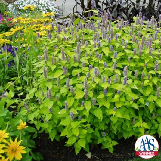 Agastache Golden Jubilee - 2003 AAS Flower Winner This golden-leaved aromatic herb thrives in a full-sun garden or a partial-shade garden location.