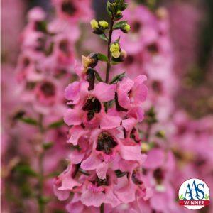 Angelonia Serenita™ Pink F1 2014 AAS Flower Award Winner EASY TO GROW AND MAINTAIN – IDEAL FOR BEGINNER GARDENERS